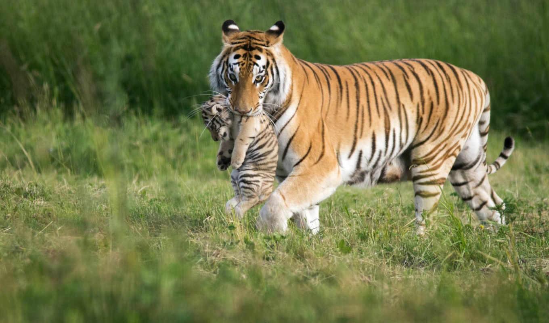 фона, животными, красивых, тигры, веселые, наборе, изображением, нояб, фотографий, тигров, рабочем, столе, оформления,