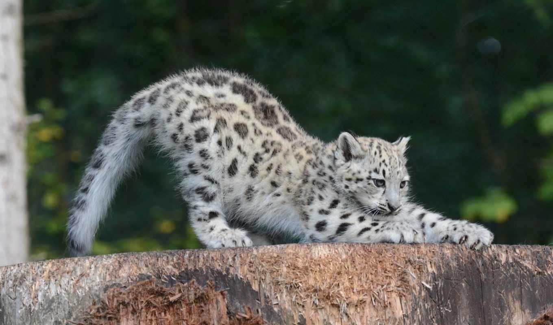 bars, снежный, кошка, дикая, ирбис, леопард, хищник, детеныш, снег,