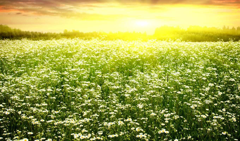ромашки, поле, цветение, весна, camomiles, июнь,