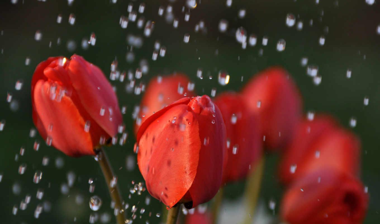 тюльпаны, дождь, красные, капли, cvety, бутоны, water, букет, розы, белые,