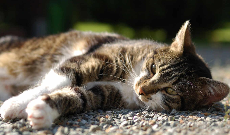 кот, отдых, desktop,