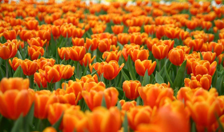 цветы, природа, flowers, поле, tulip, тюльпанов, tulips, hinh, nen, with, orange,