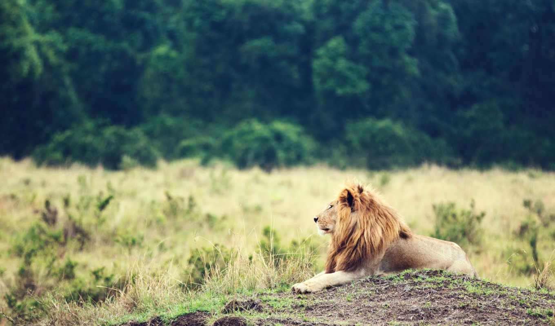 лев, грива, car, зверей, lion, животное,