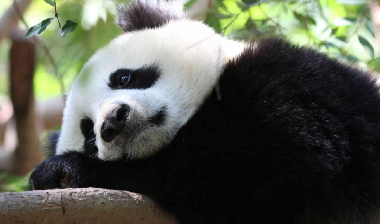 панда, zhivotnye, грустная,