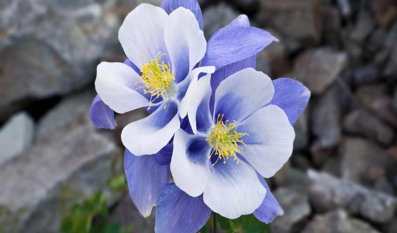 аквилегия, цветы, нежность, макро, blue, скалы, aquilegia,