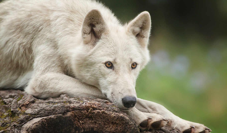 волк, лежит, white, polar,