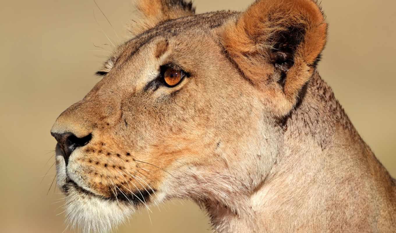 львица, lion, profile, морда,