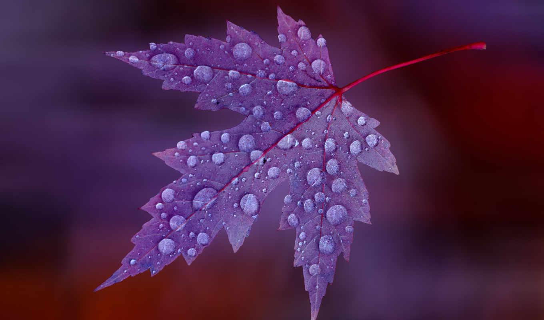 капли, лист, клен, красный,бордовый,роса,