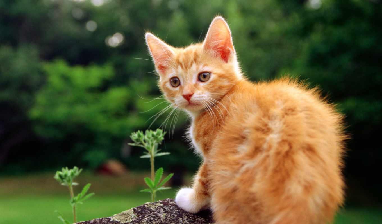 cat, рыжий, widescreen, цветы, котик, трава, киса, картинка,