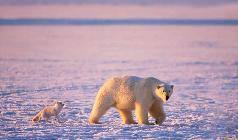 медведь, белый, животные, медведи, белые, арктика,арктику,рисунки,