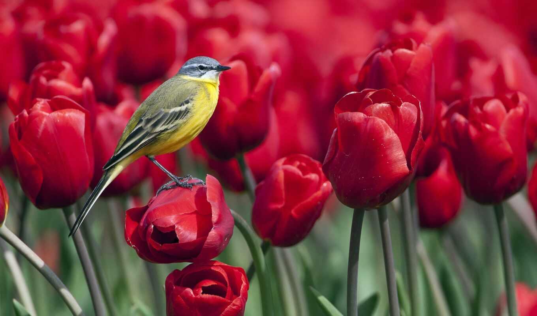тюльпаны, красные, цветы, природа, красных, тюльпанов,