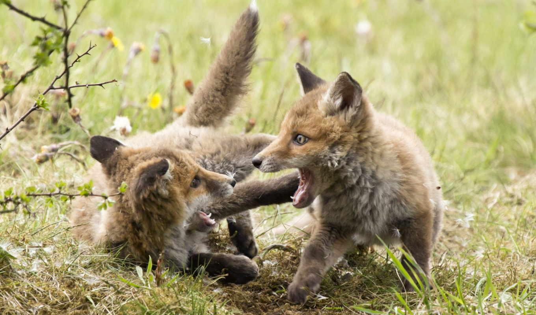 фокс, animal, природа, desktop, детёныш, лиза, baby,