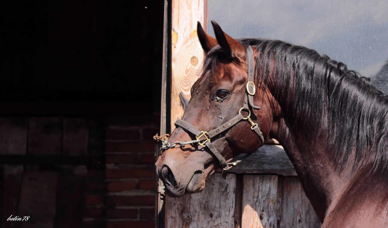 animals, horses, desktop,