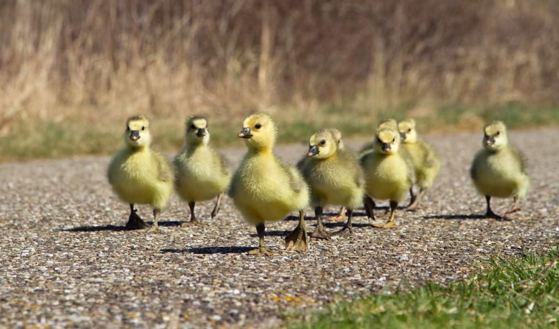 цыплята, ducklings, утенок, tablolar, baby, птицы,