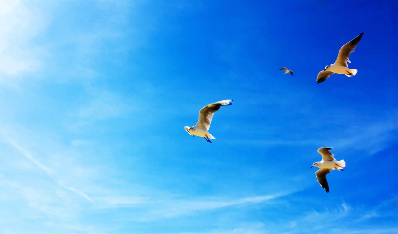 seagulls, чайки, flight, небо, животные, голубое, небе wide,flying,