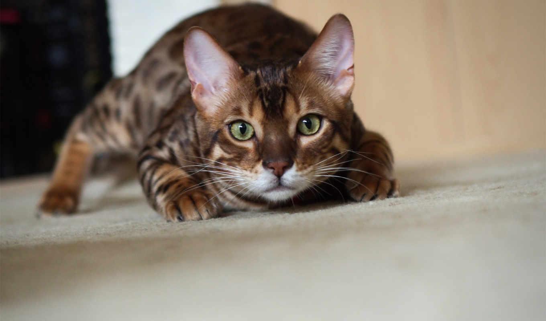 бенгальский, котэ, кот, крадется, картинку, абстрактные,