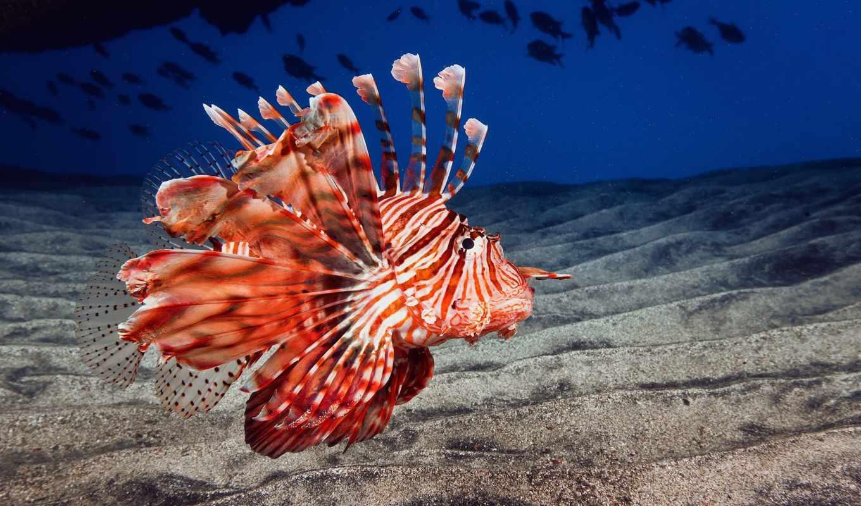 fish, море, ocean, дракон, bottom, lion, песок, крылатка,