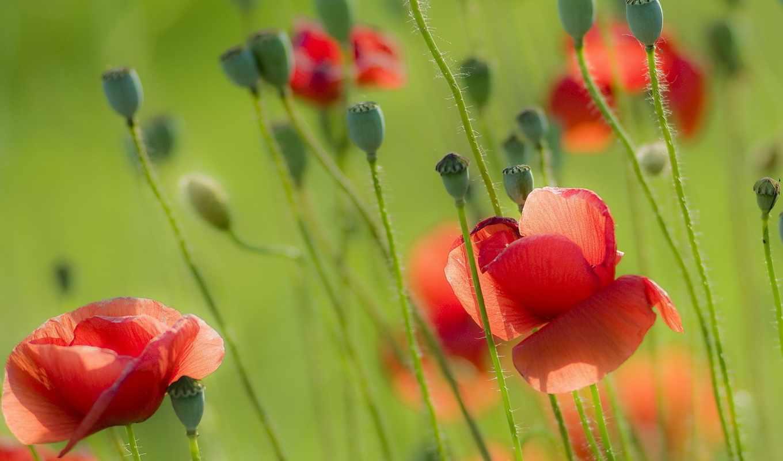 summer, поле, poppy, коллекция, cvety