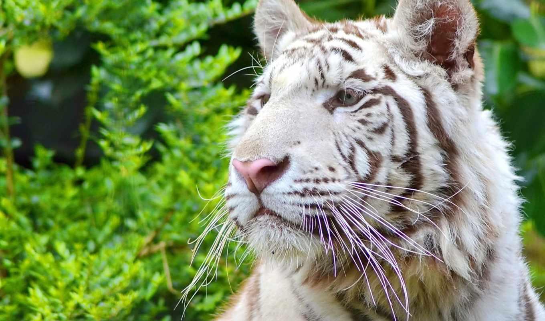 тигр, белый, тигры, животные,