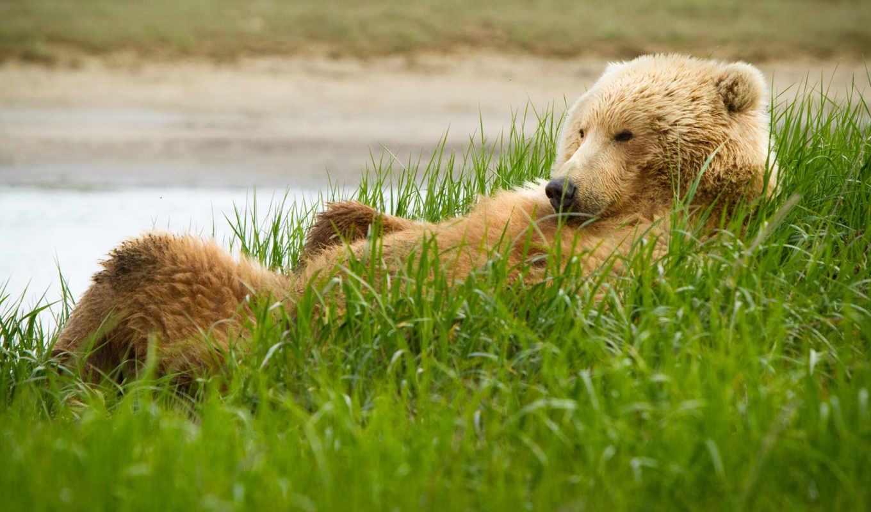 медведь, гризли, медведи,