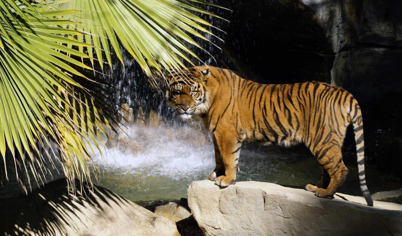 тигр, водопад, хищник, water, скалы, бенгальский,