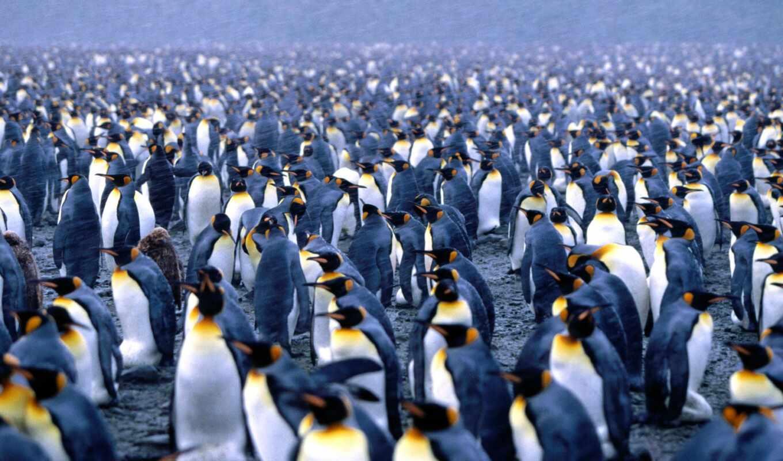 пингвины, pingvin, императорский, императорские, кг, самым, большим, рост, весь, современных,