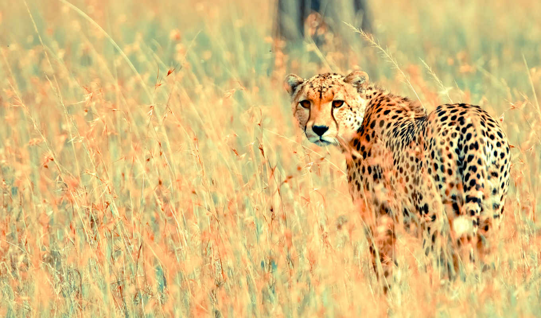 wild, free, animal, animals, гепард, desktop,