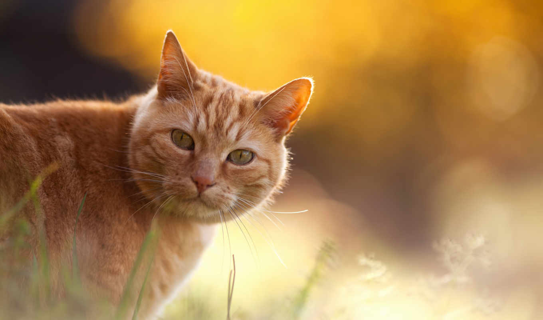 кот, red, котенок, striped, full, кошки, winter, морда, солнца,