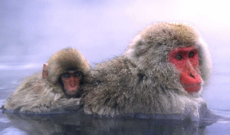 macaca, фото, макака, обезьяны, разрешениях, макаки, других, японская, макак, fuscata,