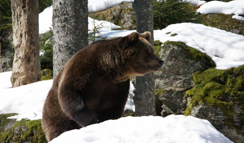 медведь, лесу, браун, зимнем, park, лес, national, zhivotnye, bavarian, года, волк,