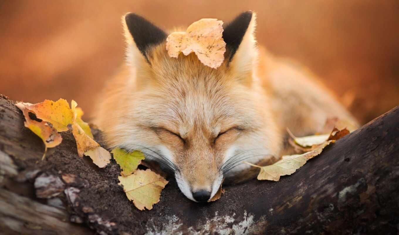 animal, фокс, sweetheart, листва, лист, cute, осень, pretty
