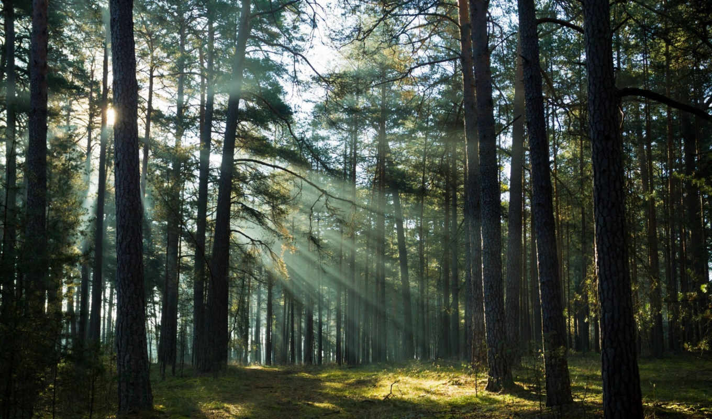 деревья, лучи, лес,
