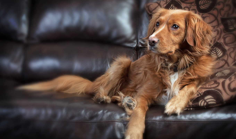 пес, диван, животные, собака, друг человека,
