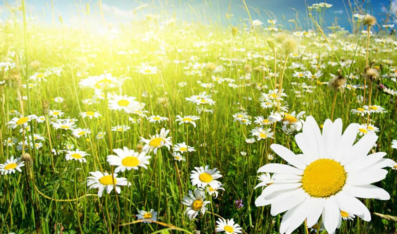 поле, ромашковое, ромашки, ромашка, цветы, рай,