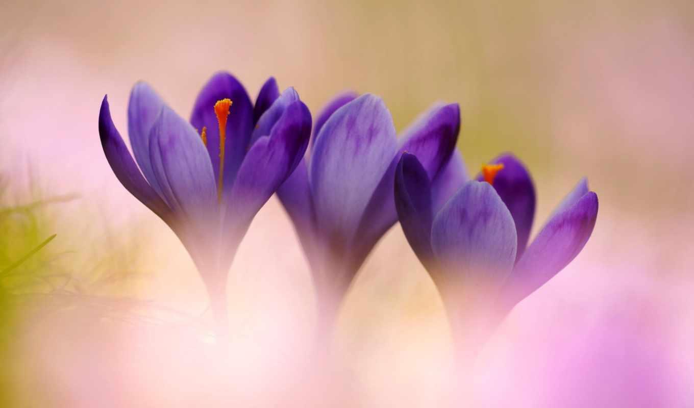 цветы, крокусы, афоризмы, жизни, красивые,