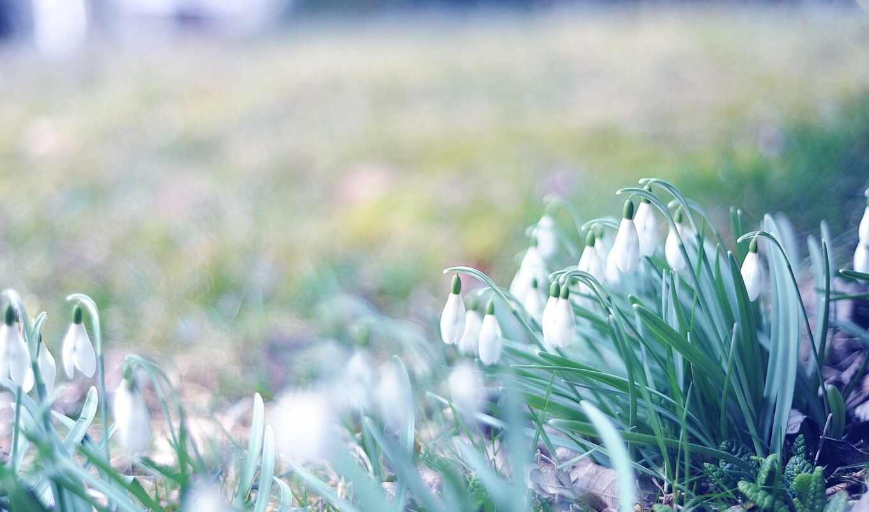 весна, подснежники, цветы, трава, взгляд,