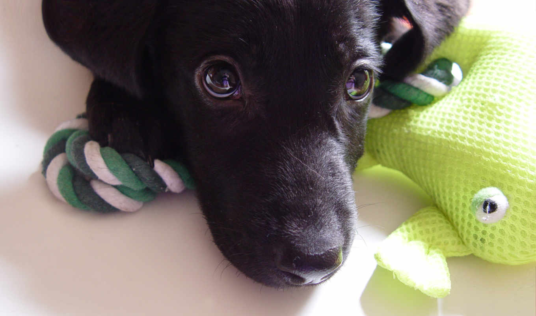 labrador, собака, щенок, морда, взгляд,