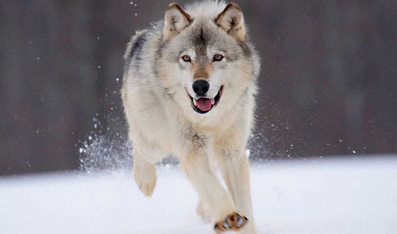 собака, волк, dogs, wolves, running, об,