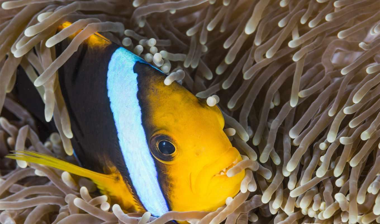 ,, рыба, anemone fish, Помацентровые, клоун, рыба, актиния, морская биология, подводный,, coral reef fish, коралловый, тигр,