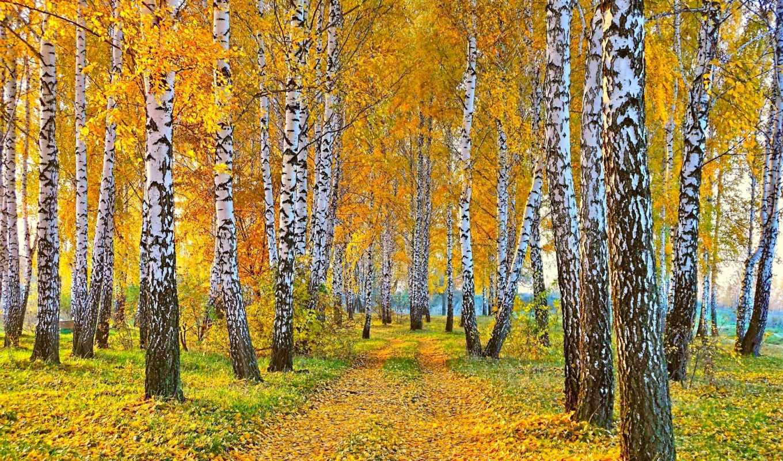 osen, priroda, дорога, пейзаж, березы, листья,