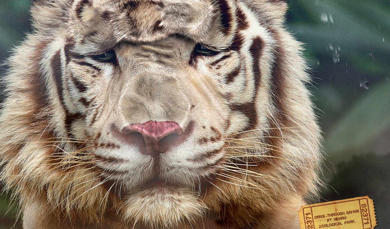 park, nehru, zoological, zhivotnye, позитивная, тигр, креативная,