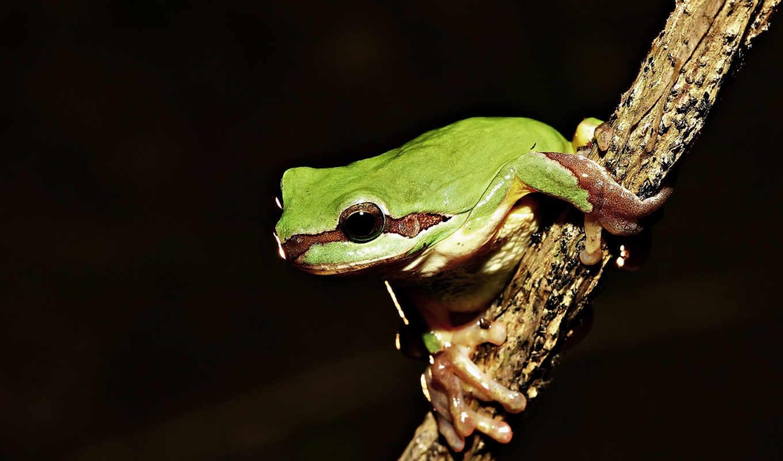 лягушка, zhivotnye, зелёная, рептилии,