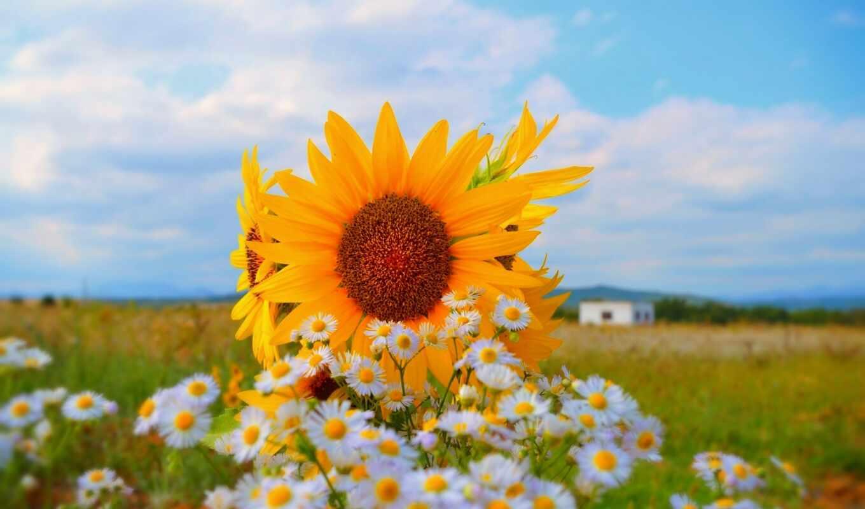 поле, подсолнух, summer, цветы