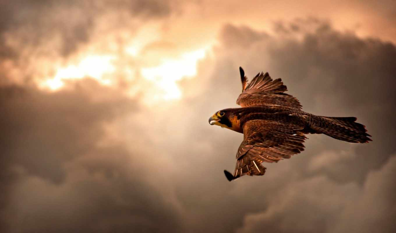 птицы, хищные, falcon, птица, hawk, видов, дек,