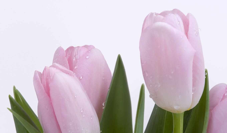wallpaper, тюльпаны, flower, wallpapers, tulips, desktop, pink, download, hd, цветы, zamknij, картинку, okno, цветами, розовые,