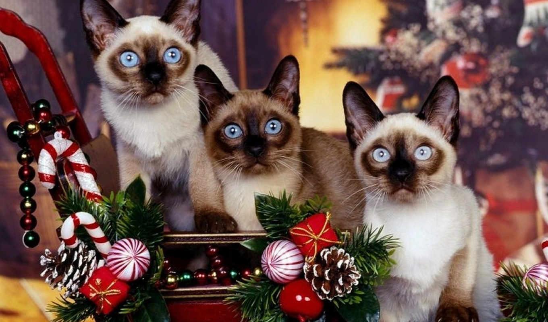 cat, christmas, siamés, сиамские, кошки, que, siamese, новогодние, коты, fondo, image, screensaver,