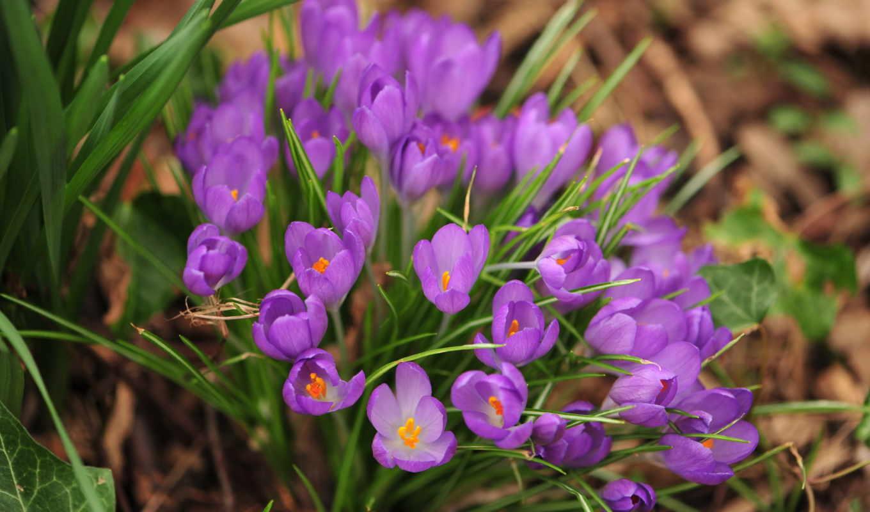 весна, природа, цветы, макро,