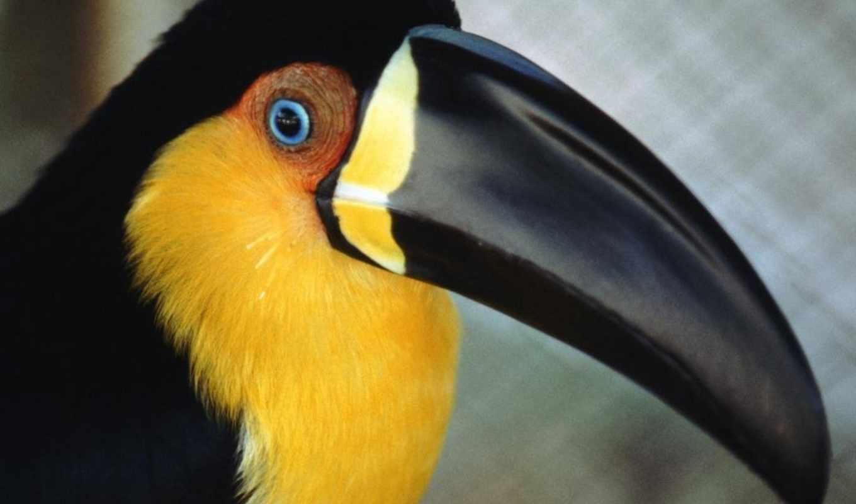 птица, клювом, большим, черная, птицы, банка, желтым,