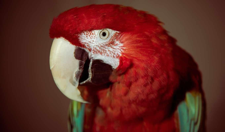 попугай, птица, macaw, перья, попугаи, картинка, глаз, папуги, телефон, птицы,