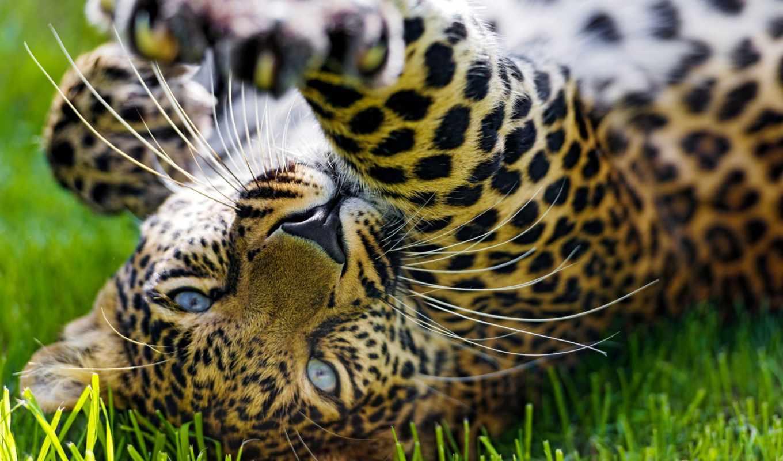 леопарды, zhivotnye, широкоформатные, кошки, страница, большие,